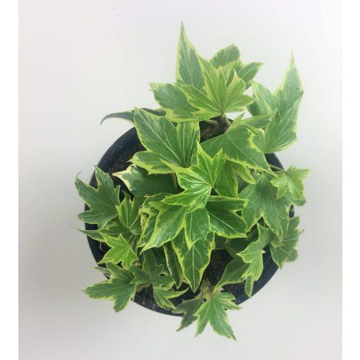 Szobaborostyan - variegata
