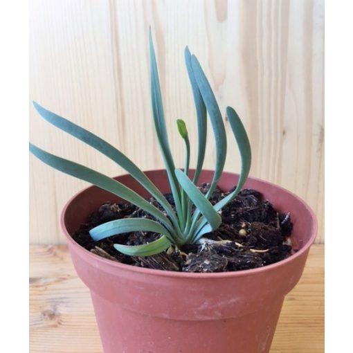 Allium montanum 'Spiralis'
