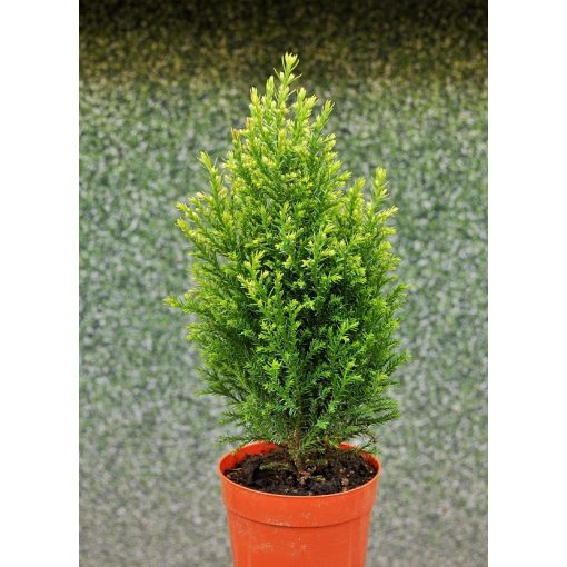 Chamaecyparis lawsoniana 'Snow White'