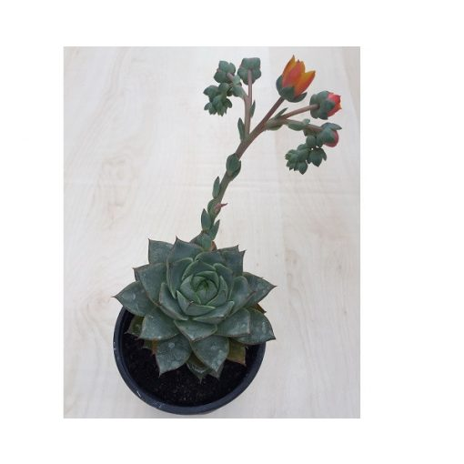 Echeveria purpusorum green virággal