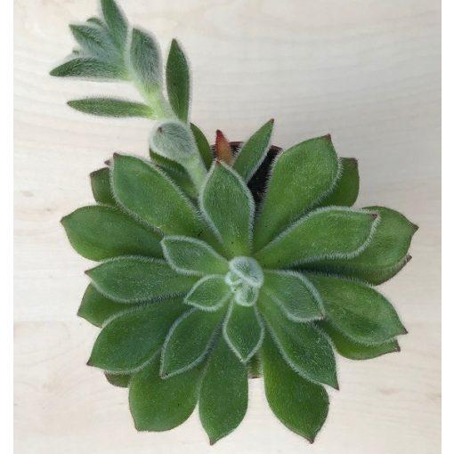 Echeveria setosa 9 cm cserépben