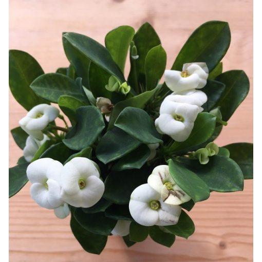 Euphorbia milli fehér