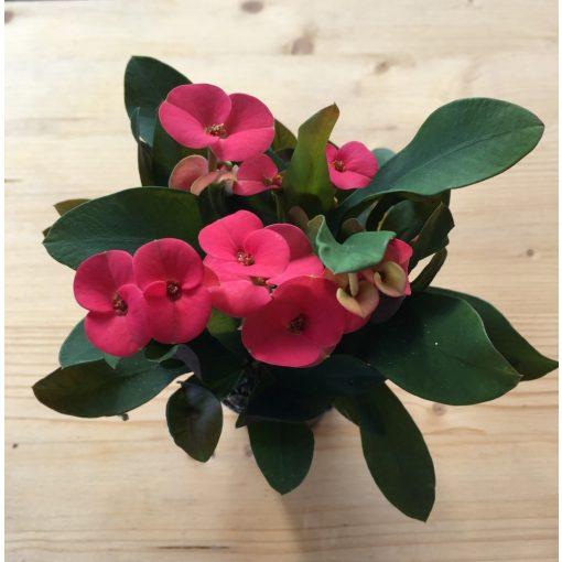 Euphorbia milli piros