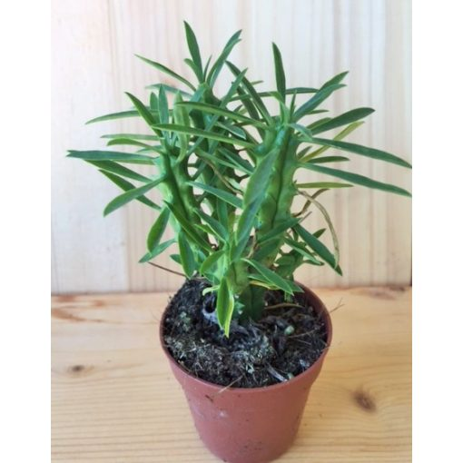 Euphorbia 3.