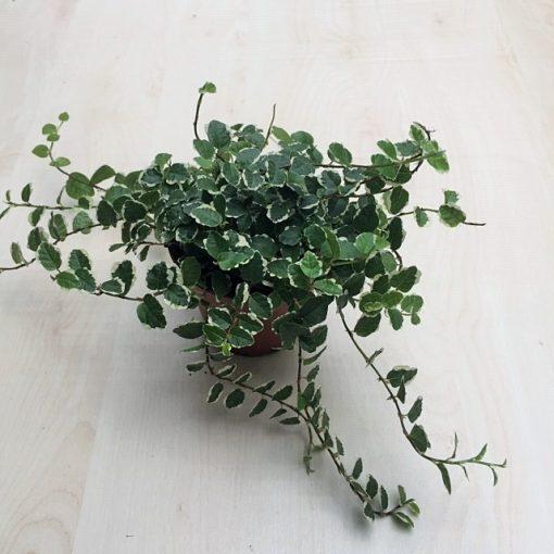 Ficus pumila 'Sunny'