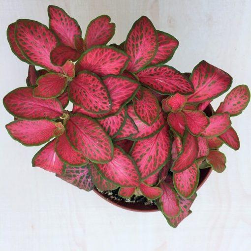 Fittonia - erős rózsaszín