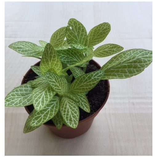 Fittonia - lime