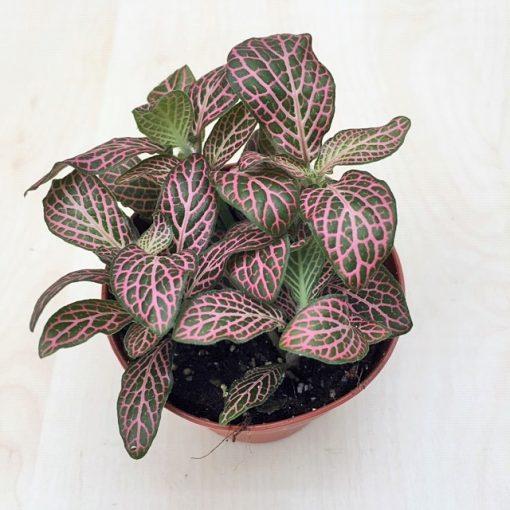 Fittonia - rózsaszín