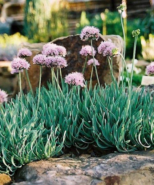 Egy nem szokványos sziklakerti növény
